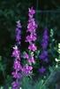 Delphinium spp.