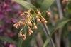 Dendrobium gracilicaule