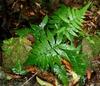 Deparia japonica