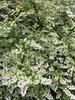 Deutzia crenata