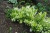 Deutzia gracilis 'Chardonnay Pearls' Form