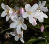 'Carminea' closeup of flower