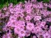 Dianthus caryophyllus plants