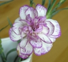 Dianthus caryophyllus flower