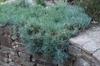 Dianthus plumaris