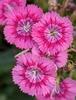 Jolt Pink dianthus