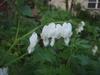 'Alba' Flower