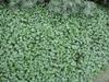 Dichondra argentea 'Silver Falls'  form
