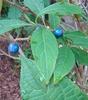 Blue fruits, B.C., Canada