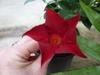 Dipladenia sanderi 'sunparasolcrimson'
