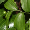 Disporum smilacinum leaves