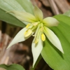 Disporum smilacinum Flower and leaves