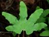 L. palmatum