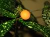 Dracaena surculosa fruit