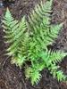 Dryopteris australis