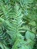 Dryopteris X australis