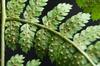 Dryopteris carthusiana