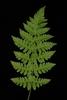 Compound frond (Cobbs Hill, Rochester, NY)-Late Summer