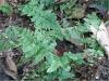 Dryopteris cristata