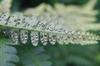 Back of frond with spores
