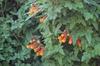 Eccremocarpus scaber