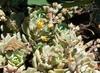 Echeveria Multicaulis