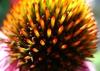 Disc flower closeup