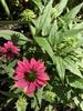 flower, NC