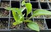 Seedling - 2 months - Durham Co, NC