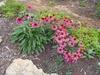 Echinacea Powwow Wild Berry Form