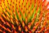 Disk flowers
