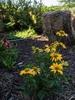 Echinacea purpurea 'Cheyenne Spirit'