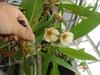 Elaeocarpus grandiflorus