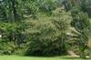 Elaeocarpus hainanensis
