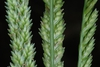 Flower spikelets (Goldsboro, NC)-Early Fall