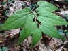 Aristilochia serpentaria