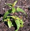 Epilobium habit and leaves