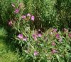 Great Willowherb flower