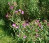 Great Willowherb flower