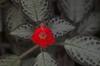 Episcia cupreata 'Acajou'