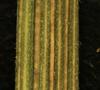 Erechtites hieraciifolia L.