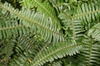 Erect Sworn Fern Nephrolepis cordifolia