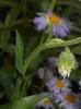 Erigeron pulchellus