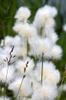 Eriophorum angustifolia
