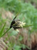 Eriophorum latifolia