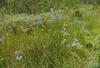 Eryngium aquaticum