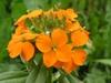 Flower closeup x marshallii
