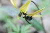 Erythronium americanum with bumblebee