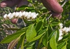 Eubotrys racemosa -