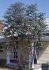 Eucalyptus spp.